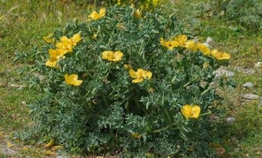 arbusto glaucio
