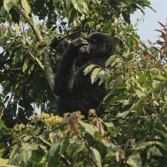 Gorilla im Baum