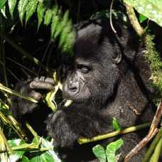 Gorilla beim Kauen