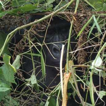 Gorilla im Unterholz
