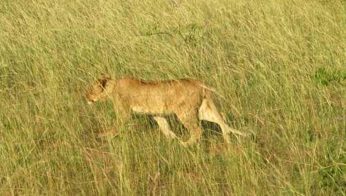 Löwe im Grasland des Murchison Falls Nationalpark