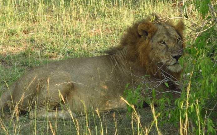 Löwe im Murchison Falls Nationalpark