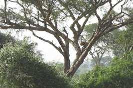 Leopard im Murchison Fall National Park