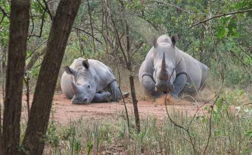 Zwei Nashörner legen sich ab