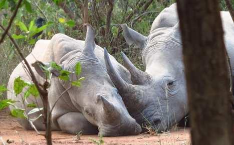 Ziwa Rhino Sanctuary kuschelnde Nashörner