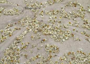 Kamillenfelder in Uganda