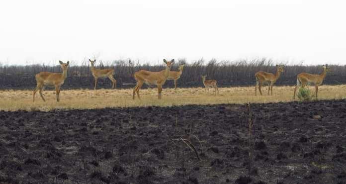 Antilopen im Ishasa-Nationalpark in Uganda
