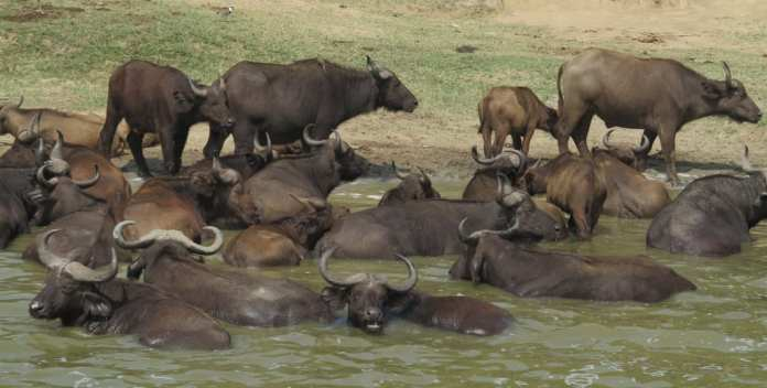Büffel im Queen Elizabeth National Park in Uganda