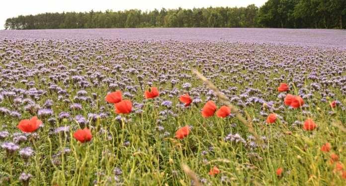 Mohn und Kornblumen in Mecklenburg