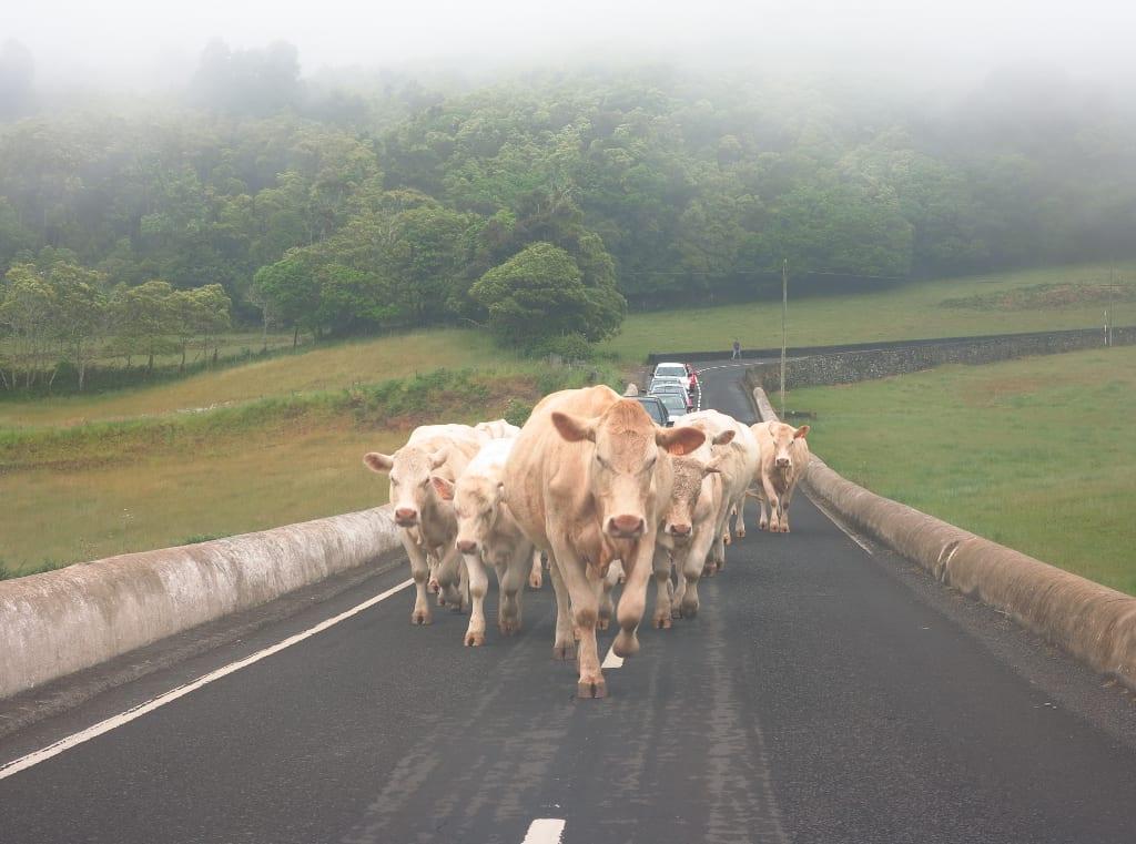 Kuhherde auf Santa Maria auf den Azoren