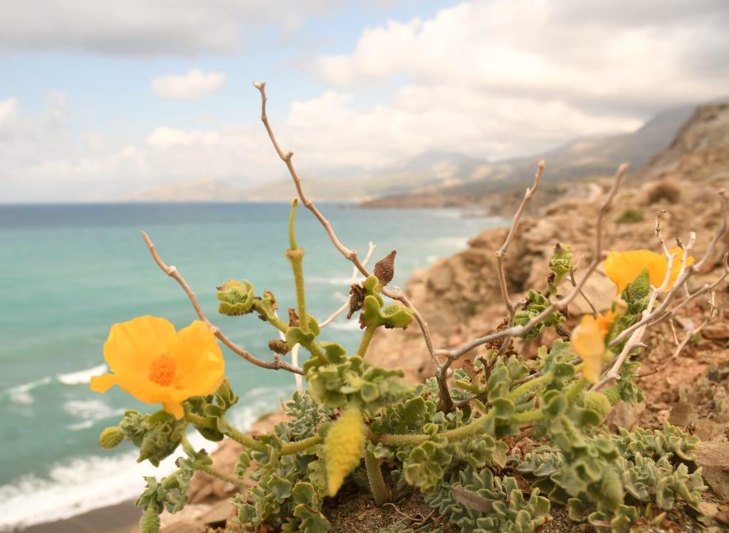 Gelbe Blumen an der Küste von Kreta