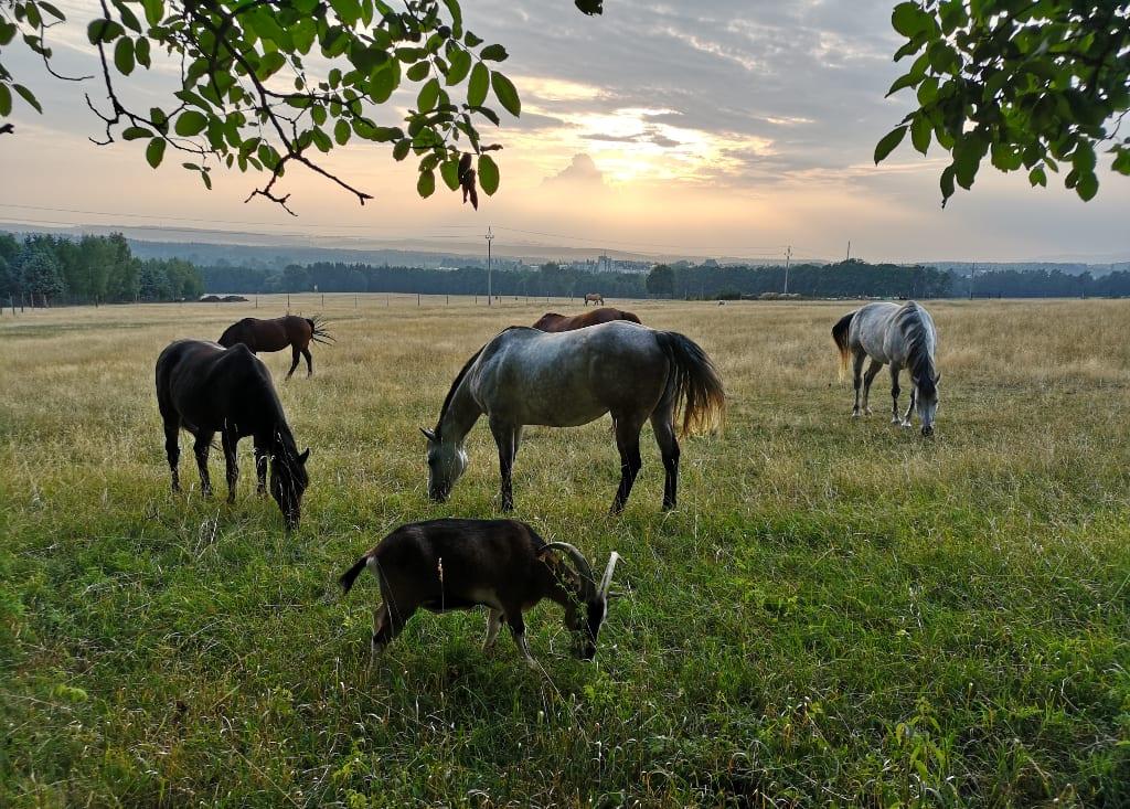 Grasende Pferde und ein grasender Ziegenbock im Abendlicht