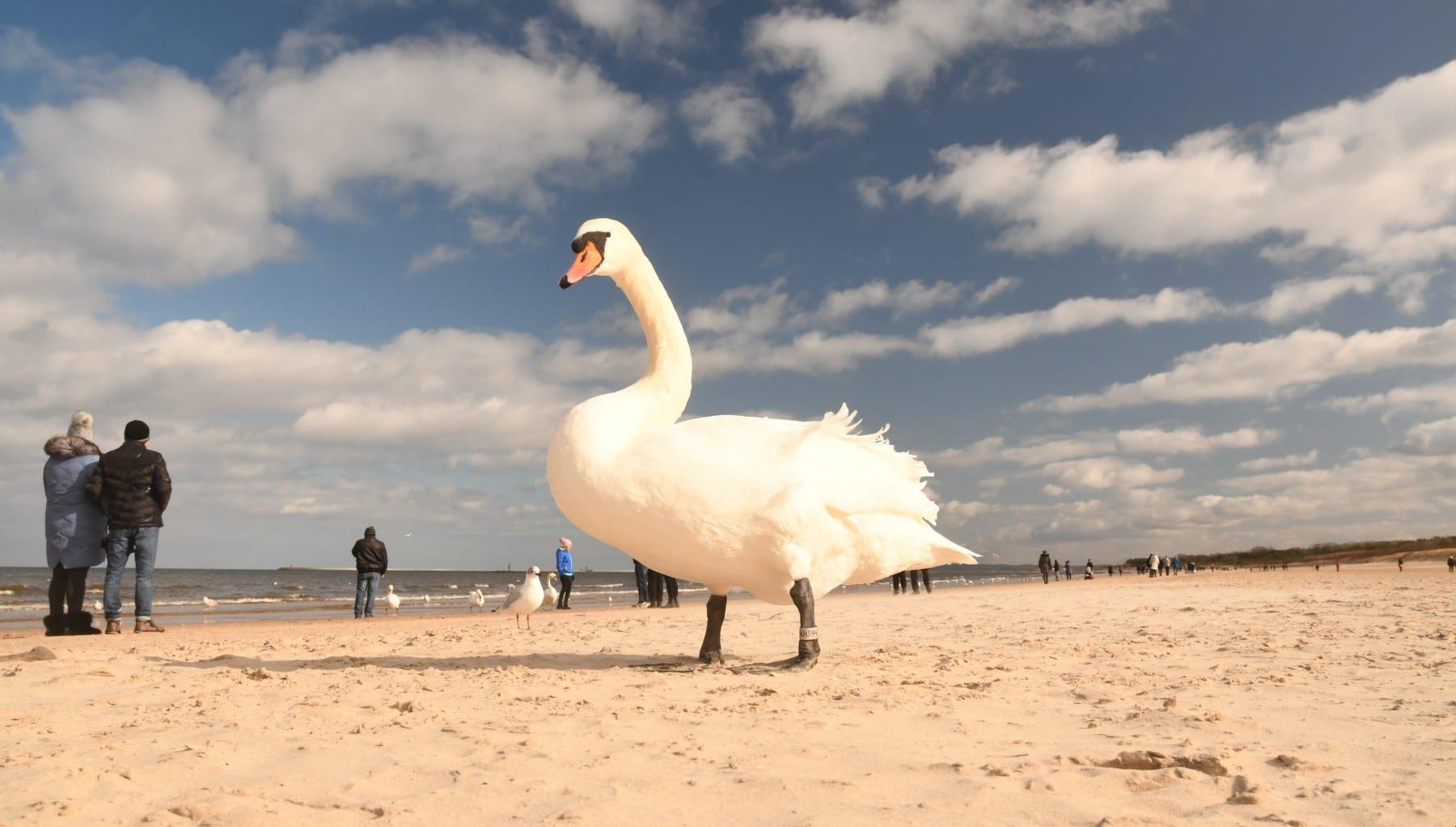 Schwan an einem Strand