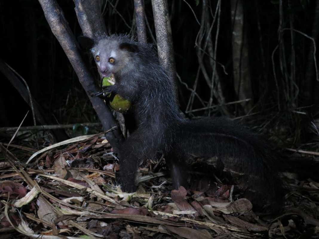 Hässliches Tier mit Kokosnuss
