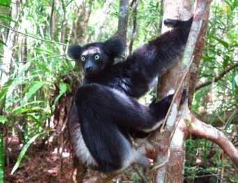 Lemur mit Glubschaufen klammert an einem Baum