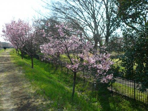 柳瀬川土手の桜