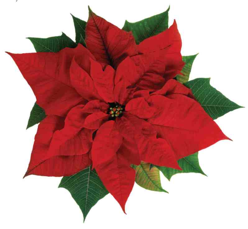 Why Is My Wallpaper Falling Off Poinsettia Higgledy Garden