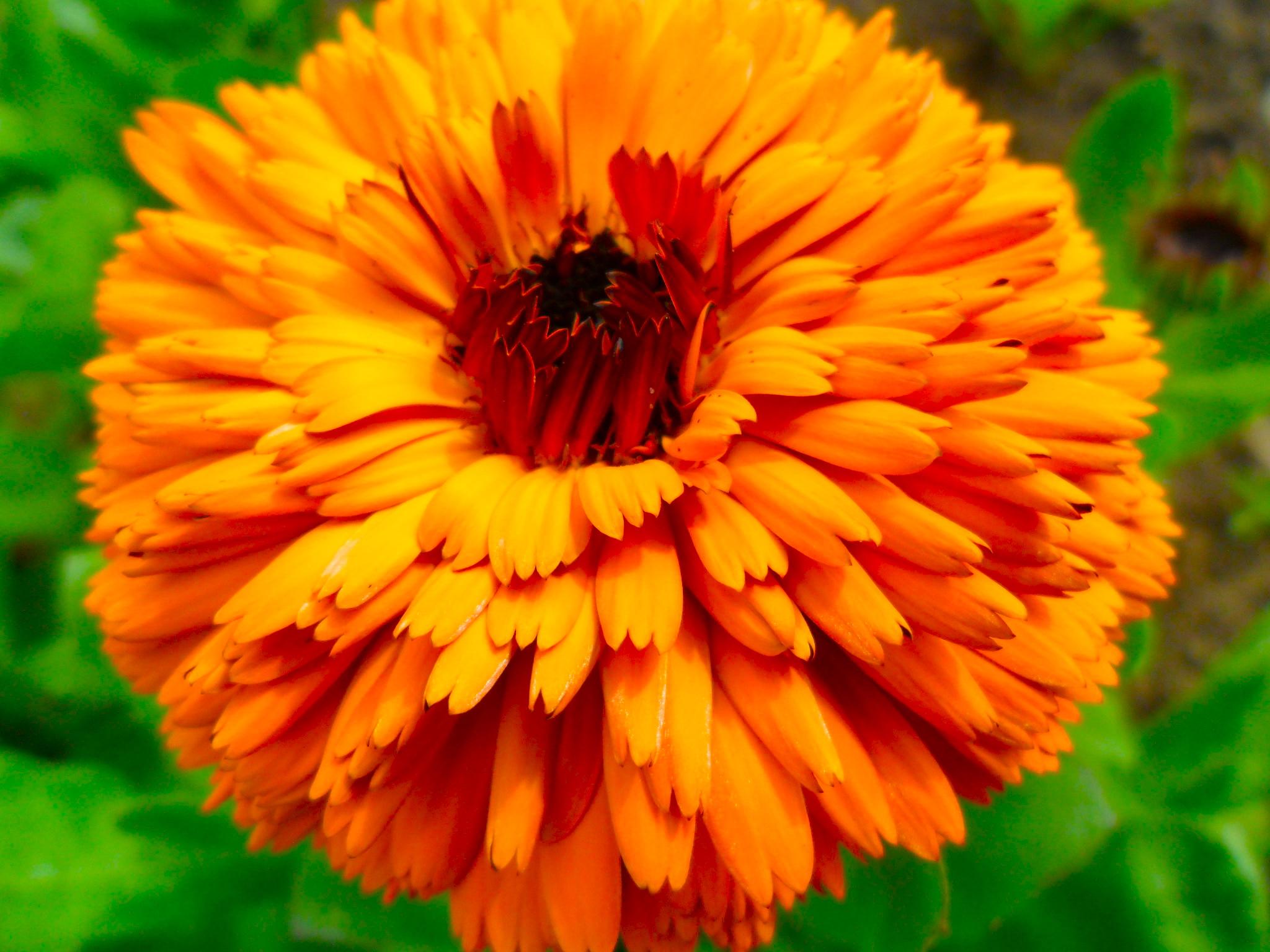 Edible Flowers The Dedicated Plot Update Higgledy Garden