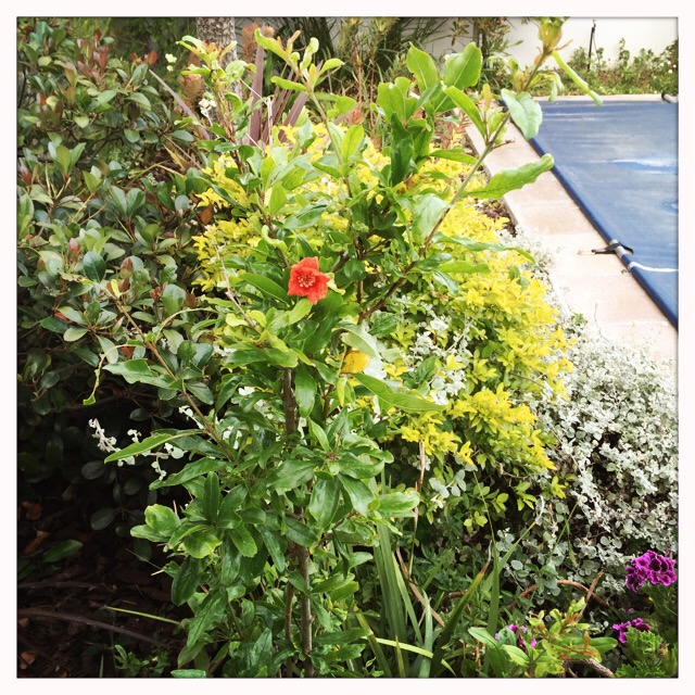 Pomegranate bush - first flower:-)
