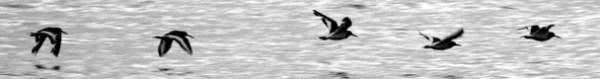 High Tide Oystercatchers