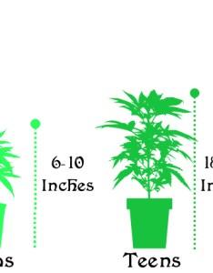 Sizechart also marijuana plant size chart high desert clones rh highdesertclones
