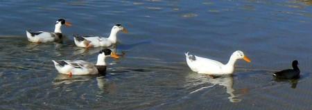1-9-13-ducks-1