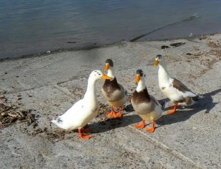 1-9-13-ducks