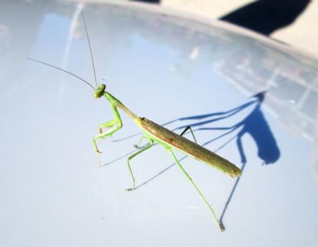 9-28-13--praying-mantis