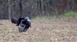 An eastern gobbler photographed near Cato, NY.