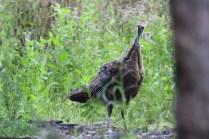 An inquisitie Osceola turkey checking out the author near Florida's Myakka River.