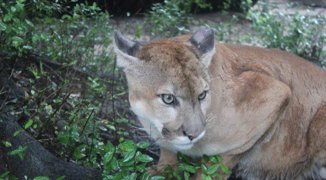 Cougar Reportedly Kills TX Man