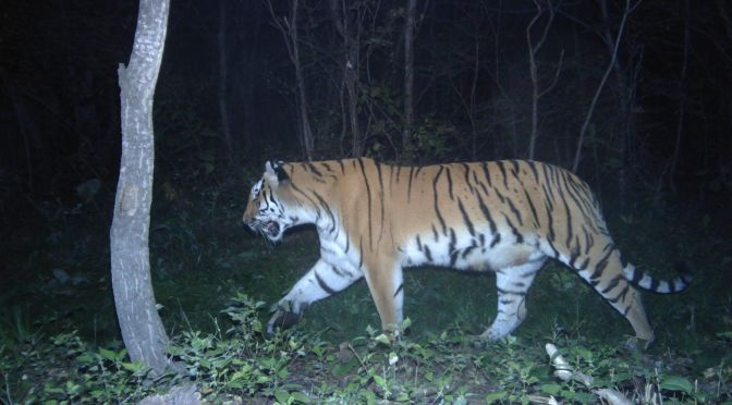 Tigers Coming Back-In China!