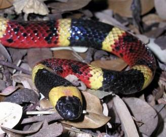 Coral snake kill a fellow