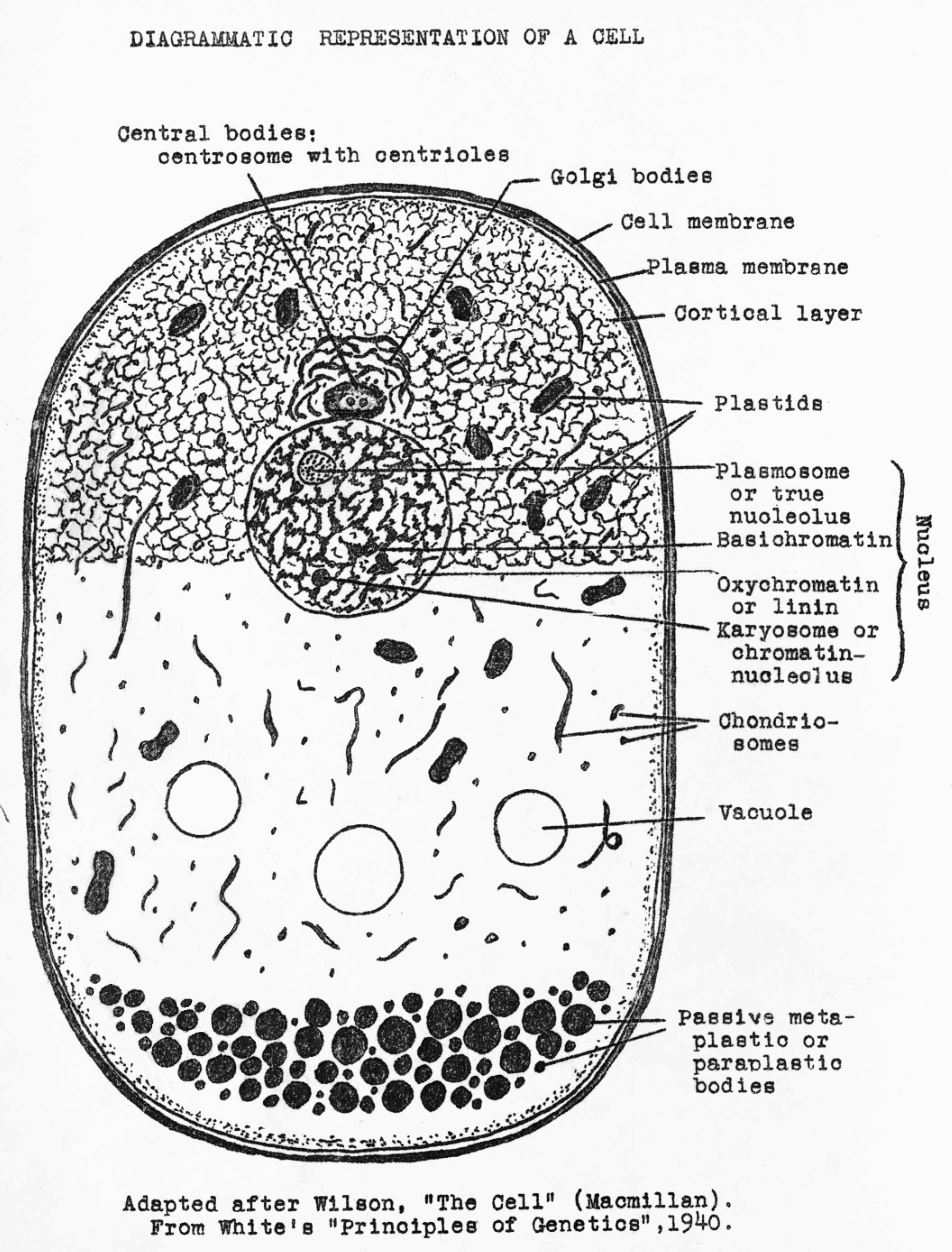 Three Parts Of A Cell Diagram