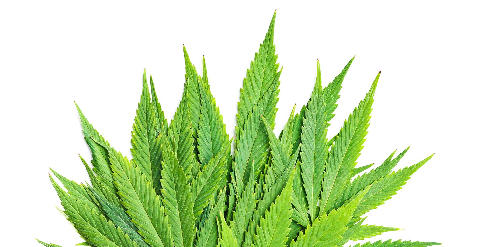 cannabis license consulting