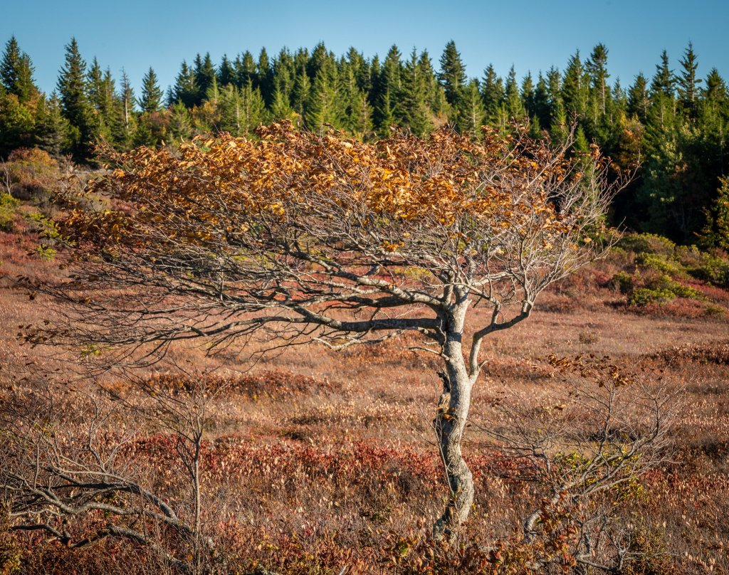 Aspen tree on the Allegheny Plateau