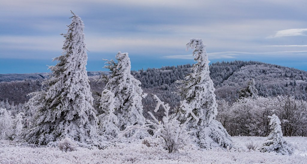 Canaan Valley Weather: Bald Knob Spruce Trees