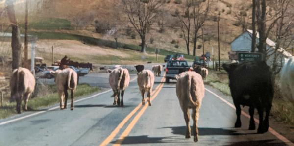 Highland County, Virginia, cattle, cows, farm, farmer, farming, history, culture, living