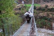 Dzo carrying some goods make the bridge crossing at Jorsalle.