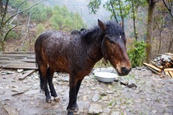 One wet horse on the trail from Monjo to Phakding.