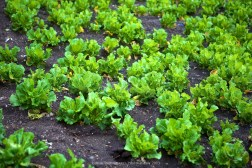 Lettuce being grown between Phakding and Lukla