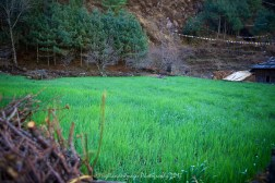 Rice field between Phakding and Lukla.