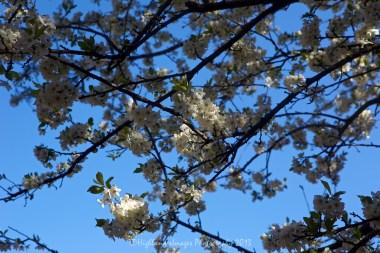 Tree blossom between Phakding and Lukla.