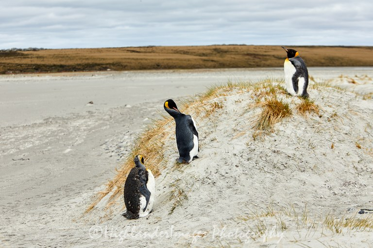 Bluff Cove Penguin Rookery, Falkland Islands