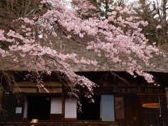 高森観音堂の枝垂れ桜と信濃境の桜達140420_5