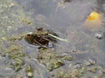 井戸尻考古館蓮池のトノサマガエル2