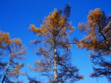 千代田湖畔の落葉松黄葉11