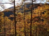 日影入林道の落葉松黄葉1