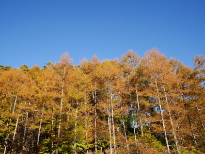 日影入林道の落葉松黄葉2