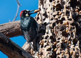 Acorn Woodpeckers: Nutty Little Clowns